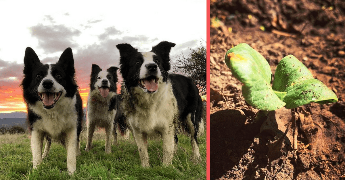 3 Border Collies Replant a Burned Chilean Forest
