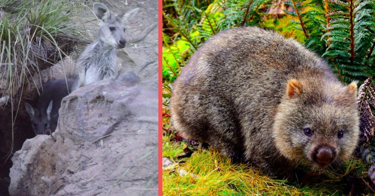 Helpful Wombats Go Viral When They Led Thirsty Animal Friends to Water